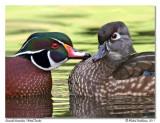 Canard branchu  Wood Duck