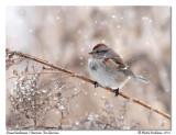 Bruant hudsonien  American Tree Sparrow