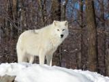 Loup artique
