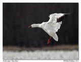 Oie des neigesSnow Goose