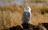 Snowy Owls 01/14/12