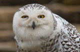 Snowy Owls 02/20/12