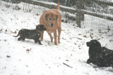 the dogs playing in snow