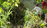 Endangered Crocodylus mindorensis, endemic to the Philippines