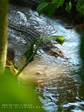 endangered Crocodylus mindorensis