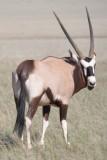 oryx (Gemsbok).JPG