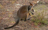 On the Wallaby or Two