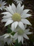 Flannel Flower 2