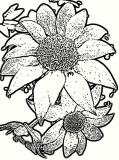 Flannel Flower 3