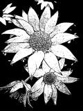 Flannel Flower 4