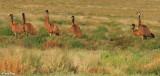 7840b- Emus near Broken Hill