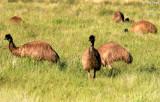 7863- Emus near Broken Hill