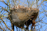 7877- a cocooned nest?