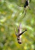 7886- Grasshopper trapped in a web