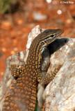 7898- Monitor - lizard