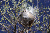 9290- a cocooned nest?