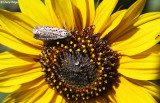 9345- unknown butterfly Broken Hill NSW