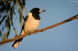 7823- Butcherbird at our campsite, Menindee Lakes