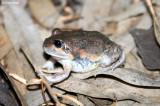 8285- Pobblebonk Frog