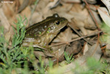 8288- Southern Bell Frog