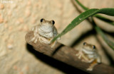 8299- frogs at Kulcurna
