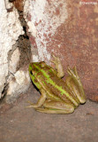 8311- Southern Bell Frog