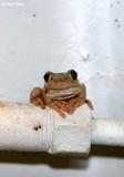 8321- Frog at Kulcurna