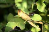 8409- yellow grasshopper