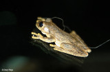Northern Laughing Tree Frog