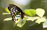 6955- birdwing butterfly, batchelor butterfly retreat