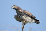 Short-toed Eagle 1616