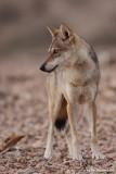 ON8Y9533vpb.jpg Wolf