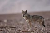 ON8Y9530PB.jpg Wolf