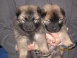 Valpar - Puppies