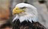 injured bald eagle - Haliaeetus leucocephalus