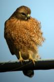 Red=Shouldered Hawk