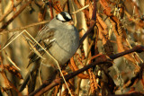 White=Crowned Sparrow
