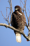 Harlan's (Red-Tailed) Hawk