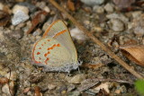 Early Hairstreak