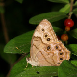 Northern Pearly-eye