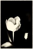 tulips_vintage