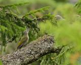 Gråspett / Grey-headed Woodpecker