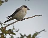Svartpannad törnskata / Lesser Grey Shrike