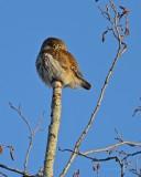 Sparvuggla / Eurasian Pygmy Owl