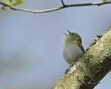 Grönsångare / Wood Warbler