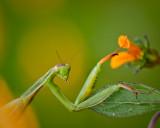 Mante Religieuse   (Praying mantis)