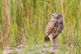 _MG_5770 burrowing owl cw.jpg