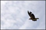 _MG_2524 eagle cwf.jpg