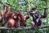 Orang Utans (Singapore Zoo)