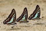 Graphium evemon eventus (Blue Jay) Graphium bathycles bathycloides (Veined Jay) Graphium doson evemonides (Common Jay)